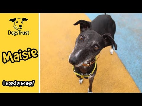 Maisie the Whippet Loves Playing | Dogs Trust Manchester