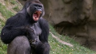 Правдивая история о жизни человека с гориллами! документальные фильмы, Документальные фильмы HD