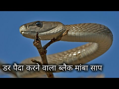 दुनिया का सबसे खतरनाक साप ब्लैक मांबा Black mamba snake information