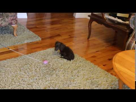 Hershey Playful Little Miniature Dachshund Boy!