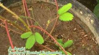 preview picture of video 'Mimosa pudica Reaction Against Flame'
