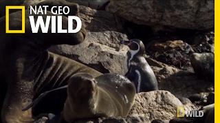 A Penguin Obstacle Course   Penguinpalooza