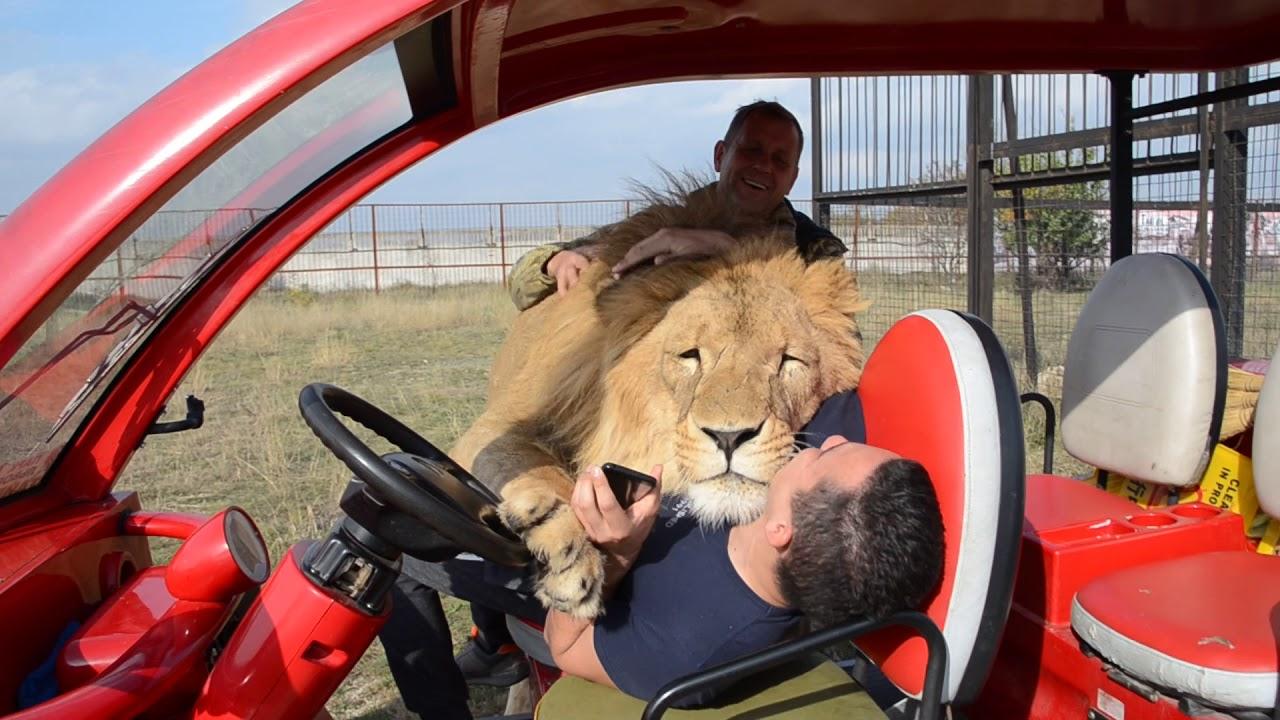 Очень позитивный лев...