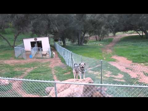 Anatolian Hears Coyotes