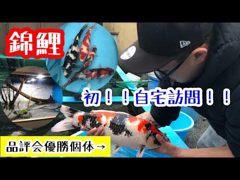 【初!自宅訪問編】錦鯉を語る!koi&アロワナ&ダイヤモンドポルカ