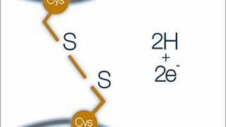 Proteins - Disulfide Bond