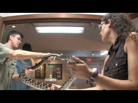 Milking Deadly Snakes in DeLand