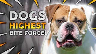 Which Dog Breed Has THE HIGHEST BITE FORCE!?