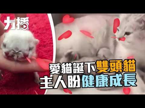 愛貓誕下雙頭貓