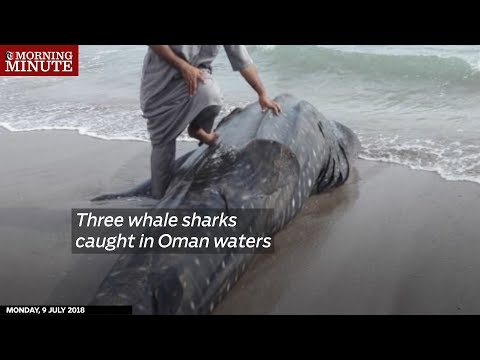 Three whale sharks caught in Oman waters