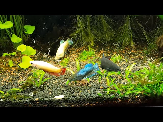 Fishroom Tour! Shelldwellers, Rainbows, Discus, Bettas, New Bettas, Feeding live food and MORE!