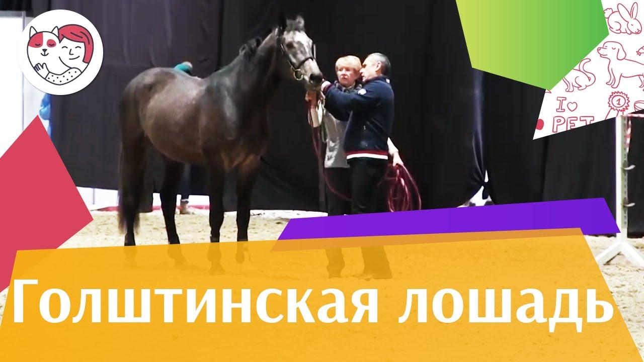 ЛОШАДИ Голштинская порода ЭКВИРОС 2016 на ilikepet