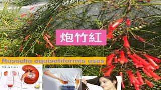 炮竹紅(花丁子)~神奇作用.Russelia Equisetiformis Medicinal Uses .Manfaat Bunga Air Mancur.
