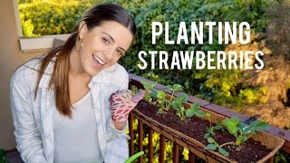 How To Plant Strawberries For Beginners!