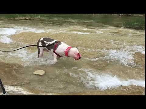 Sienna, an adopted American Staffordshire Terrier & Pit Bull Terrier Mix in Georgetown, TX_image-1