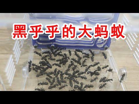 開箱一大坨密密麻麻的螞蟻