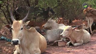 juboraj indian cow - ฟรีวิดีโอออนไลน์ - ดูทีวีออนไลน์ - คลิป