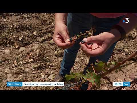 Vendanges amères dans la plaine des Maures