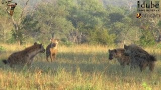Hyena Interactions