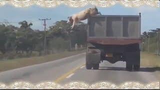 ЖЕСТКИЙ ПОБЕГ СВИНЬИ! Девушка за рулём! Приколы! УГАР! Опасные!
