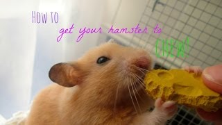 How to Get Your Hamster to Chew!