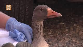 Dierenambulance waarschuwt voor oprukkende vogelgriep: 'Ganzen vallen dood uit de lucht'