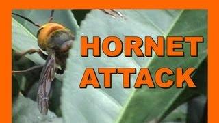 Chased by Suzumebachi - Asian Giant Hornet - Real Japan Monsters - 雀蜂攻撃 日本のモンスター