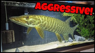 Keeping Most Aggressive Freshwater Fish In HOME Aquarium!