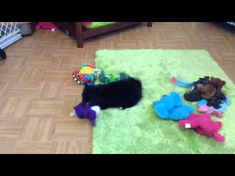 Black PomChi at play!