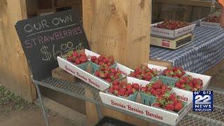 It's strawberry picking season in Massachusetts