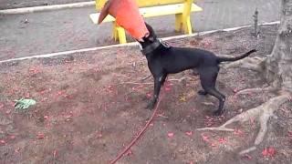 LOCO DRAMA pit bull fight