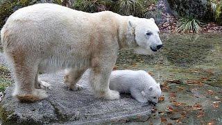 Встретиться Кинтана, Полярный Мюнхен медвежонок