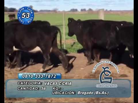 Lote VACA CON CRIA - Bragado