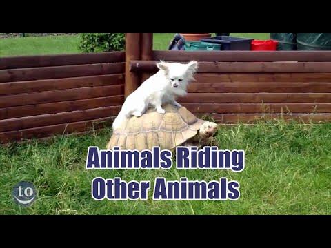 חיות רוכבות על חיות אחרות
