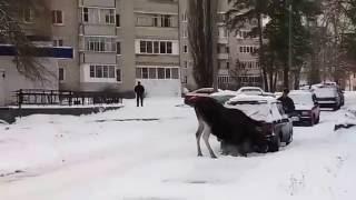 Лось пытается погреться выхлопными газами автомобиля