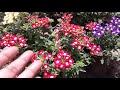 132 Winter Summer Flower plant VERBINA kaise lgayen grow n care tips