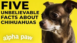 5 Unbelievable Facts About Chihuahuas