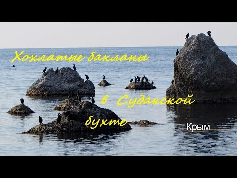 Бакланы хохлатые Phalacrocorax aristotelis в Судакской бухте, Крым, осень 2019, crested cormorant