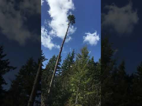 Husqvarna electric chainsaw topping gallon tree