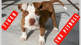 How to train Pitbull, 5 weeks old