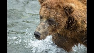 Grizzly Bears feed at Brooks Falls, Katmai National Park – July 2018