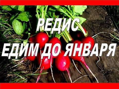 Тонкости Ухода и Выращивания Редиса в открытом грунте. Когда Сажать Редис летом.Хранение редис впрок