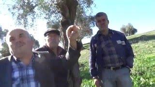 muğla milas  kuruyan zeytin bahçesi  milasın köyleri  ağaçlarda çalılaşma