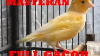 Spesial Kenari Masteran Bikin Burung Kicau Gacor Ngeriwik Abis