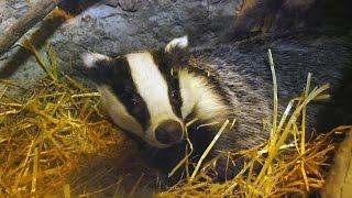 The Wildlife Garden Project | How to help badgers in your garden