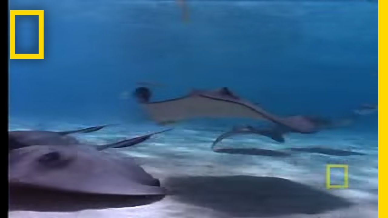 Stingray City | National Geographic thumbnail