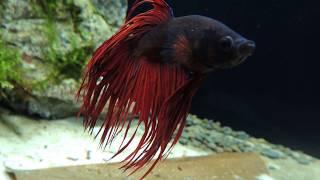 021l - Betta Fish Tank- Dawid Wyciślik