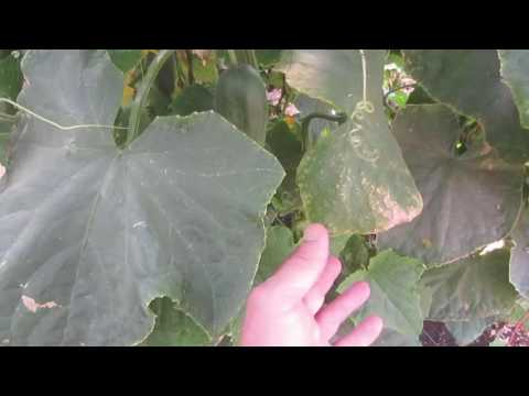 Video POTASSIUM DEFICIENCY IN PLANTS: Symptoms & Treatment