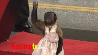 """Crystal the Monkey EPIC Red Carpet Adventure """"The Hangover Part 2"""" Premiere"""