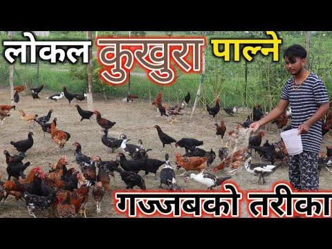यसरी हो लोकल कुखुरा पाल्ने||१७०० लोकल कुखुरा पाल्दा दैनिक ८००० आम्दानी||Chaudhary Local Chicken farm